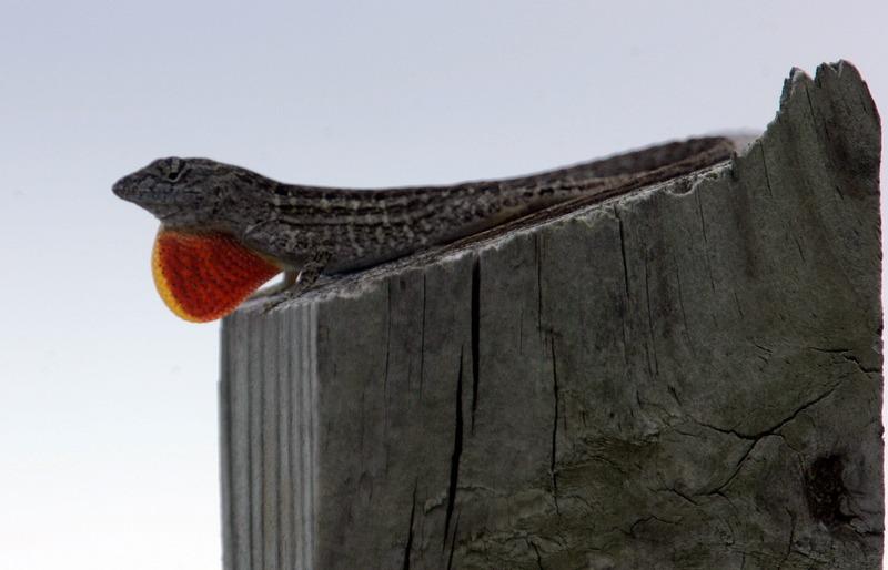 Ящерица. Национальный парк Эверглейдс, Флорида. Фото: Joe Raedle/Getty Images