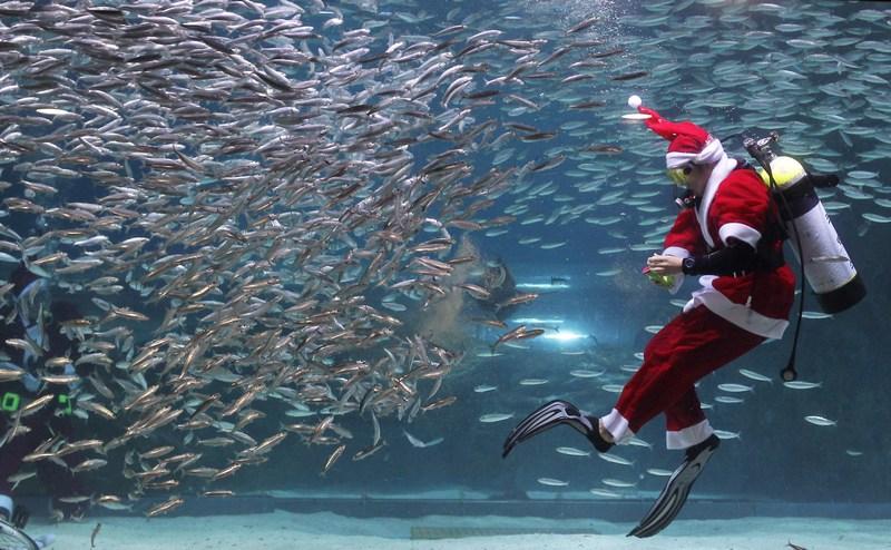 Сеул, Южная Корея, 8 декабря. Дайвер в костюме Санта-Клауса плавает в океанариуме посреди стаек сардин. Фото: Chung Sung-Jun/Getty Images