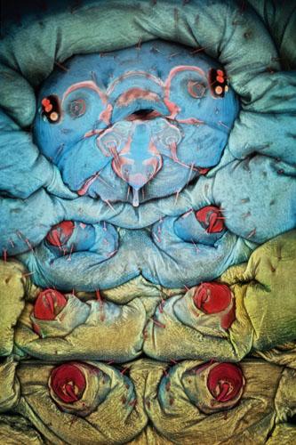 Гусениця метелика-стоноги готується до того, щоб стати лялечкою. Розмір голови гусениці в поперечнику становить близько 0,5 мм. Фото: Igor Siwanowicz/Ashburn, Virginia, USA