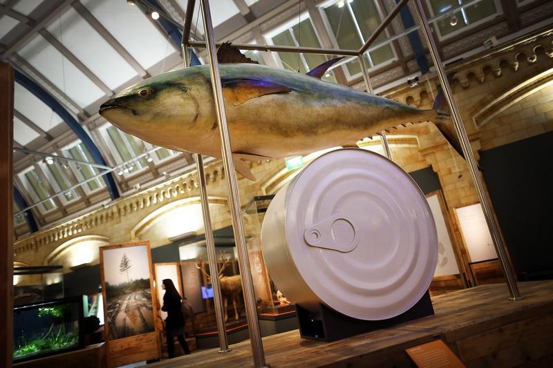 Лондон, Англія, 5 лютого. У Музеї природної історії відкрилася виставка «Вимирання: це ще не кінець?». На фото — блакитний тунець поряд з величезною консервною банкою. Фото: Peter Macdiarmid/Getty Images