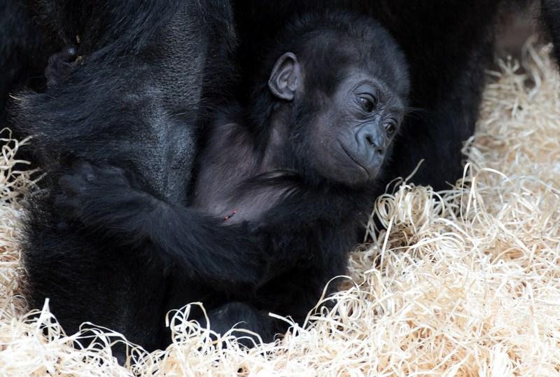 Дитинча горили Кукена в Брістольському зоопарку. Фото: Matt Cardy/Getty Images