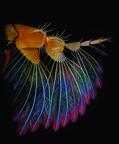 Придаток рачка-бокоплава, покрытый волосками-щетинками, которые служат для ловли планктона. Длина «руки» равна примерно 0,8 мм. Фото: Igor Siwanowicz/Ashburn, Virginia, USA