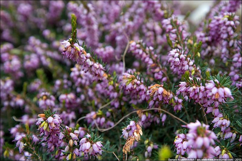 У Криму цвітуть абрикоси, мигдаль і троянди. Фото: aquatek-filips.livejournal.com