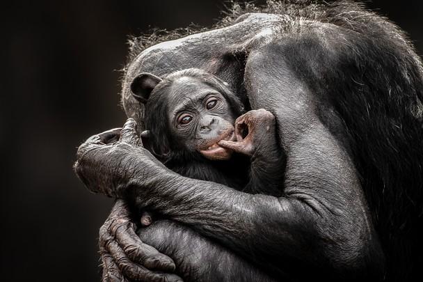 Нежность. Мать и детёныш карликовых шимпанзе в зоопарке Джэксонвилля, штат Флорида, США. Фото: Graham McGeorge/travel.nationalgeographic.com