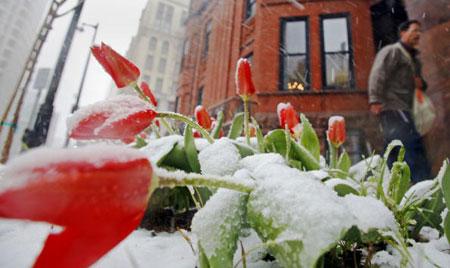 Милуоки. США. Весенние цветы покрыты снегом. 11 апреля 2007 года. Фото: Darren Hauck/Getty Images