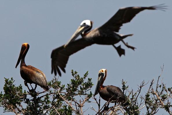 Розростається нафтова пляма в Мексиканській затоці. Коричневі пелікани, покриті шаром нафти, плавають у водах затоки. Фото: Win McNamee/Getty Images