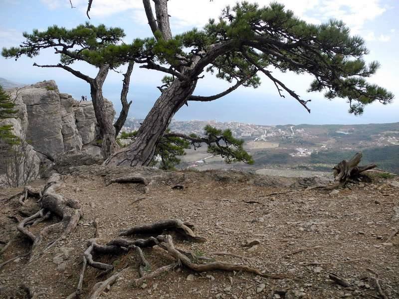 Боткінська стежка: Химерна сосна і її коріння на підступах до гори Ставрі-Кая. Фото: Алла Лавриненко/EpochTimes.com.ua