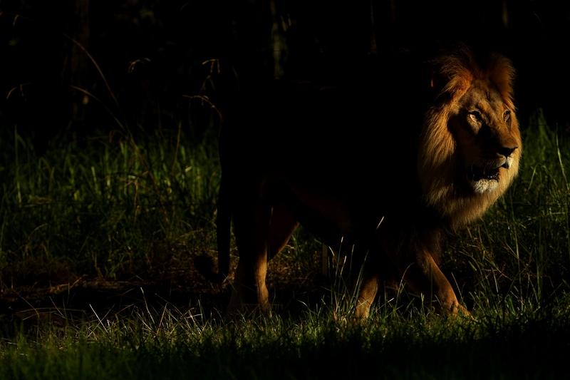 Лев у зоопарку «Західні рівнини Таронга». Даббо, Австралія. Фото: Mark Kolbe/Getty Images