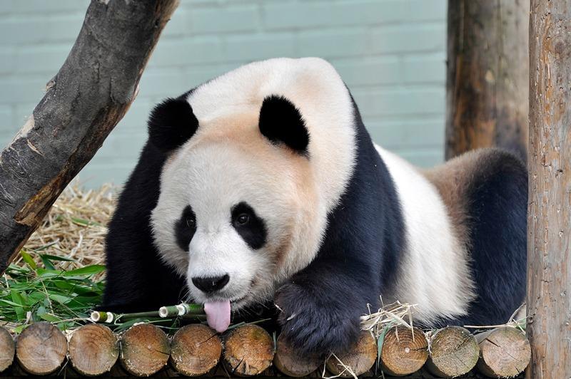 Большая панда Ян Гуан. Фото: Andy Buchanan/AFP/GettyImages
