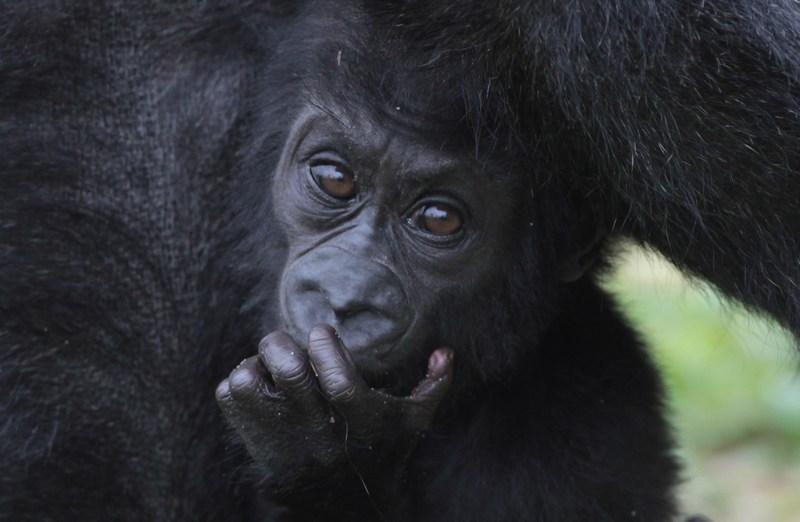 Горила Соломія з дитинчам Кукеною у Брістольському зоопарку. Фото: Matt Cardy/Getty Images