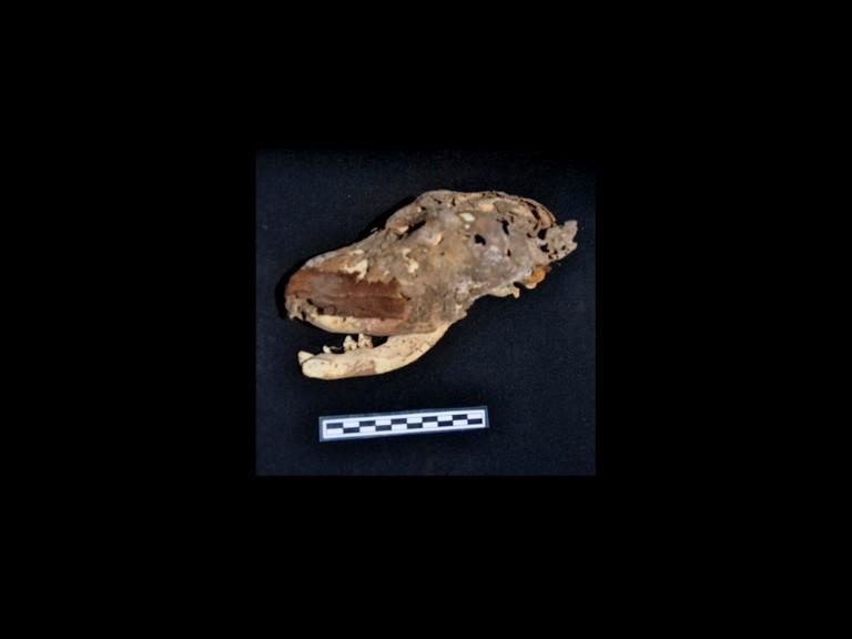 Обнаруженный череп собаки со следами белизны, что свидетельствует о том, что животное поддалось мумификации. Фото: Mary-Ann Pouls Wegner