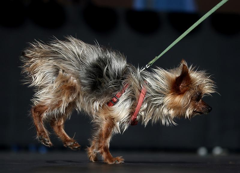 Петалума, США, 21 червня. У місті проходить 25-й всесвітній конкурс на найпотворнішу собаку. На подіум «запрошується» померанський шпіц на прізвисько «Мейзі браун». Фото: Justin Sullivan/Getty Images