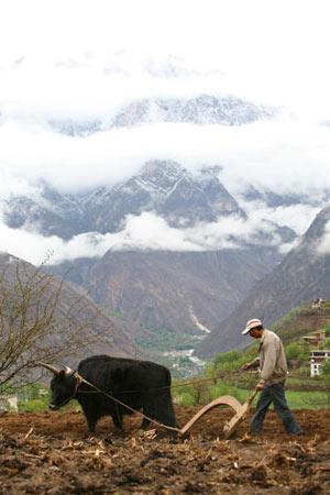 Тибетец пашет землю, используя яка и примитивный плуг. Фото: China photos/ Getty image