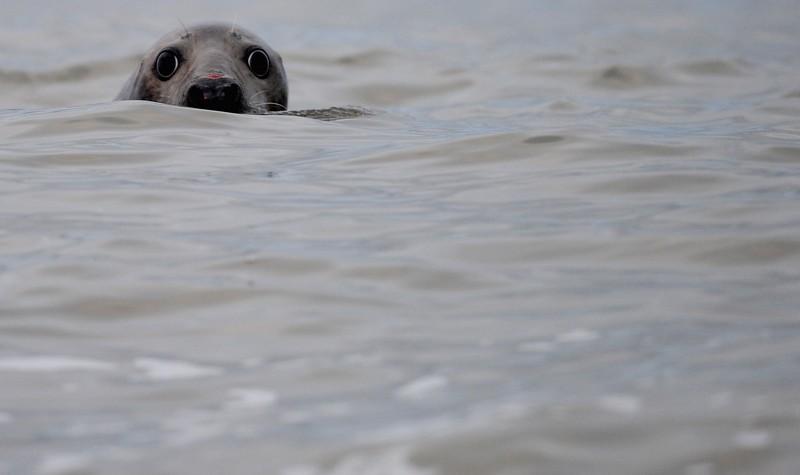 Серый тюлень. Фото: Jamie McDonald / Getty Images