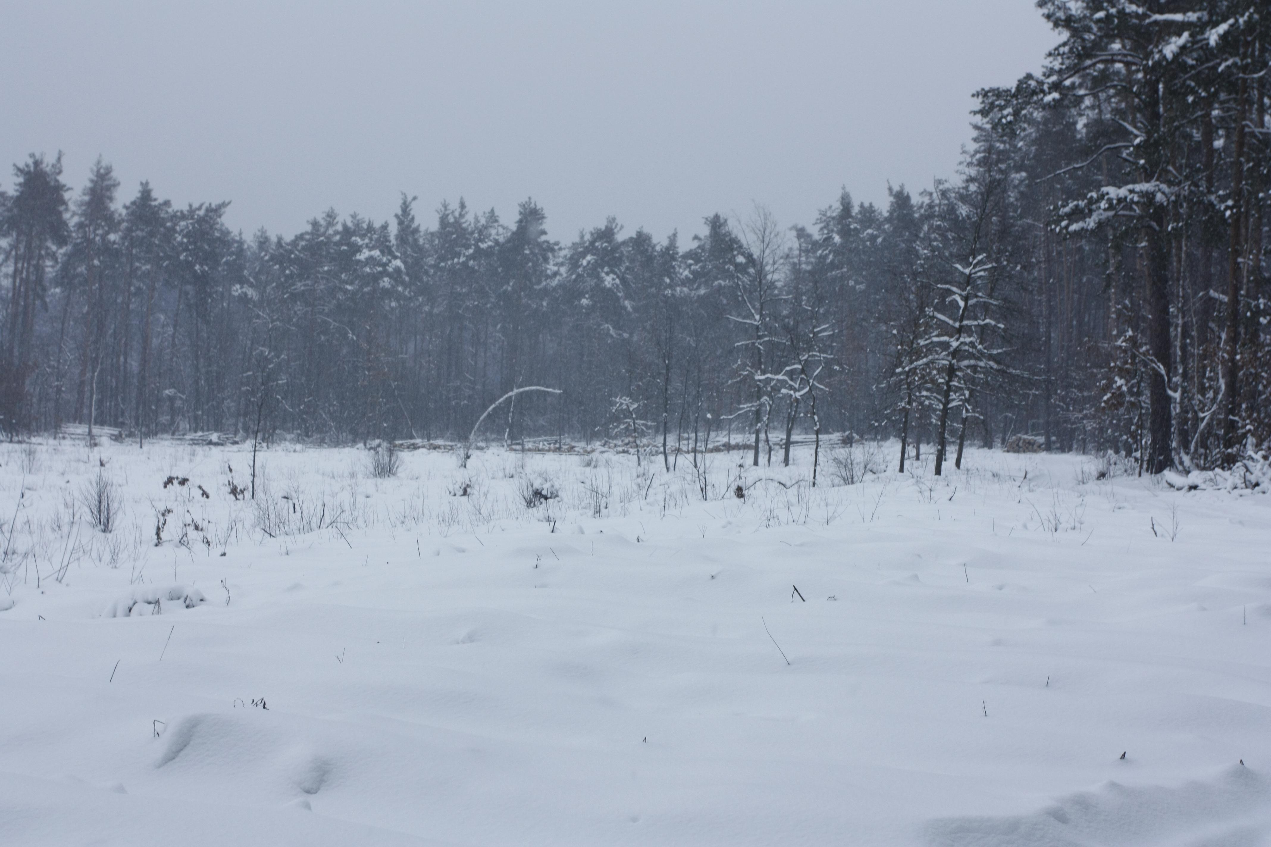Ділянка Броварського лісу, вирублена у липні 2010 року. Там де зараз сніг — раніше був ліс. Фото: The Epoch Times Україна
