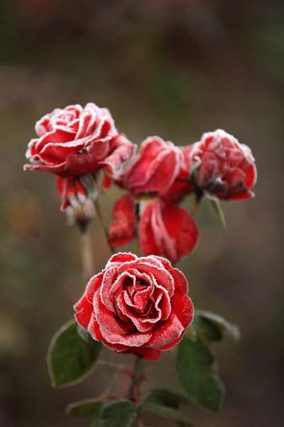 Покрытые инеем розы — в Англию пришли первые заморозки. Фото: Christopher Furlong/Getty Images