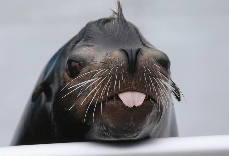 Нью-Йорк, США, 24 травня. Морський лев Озборн позує перед камерою. Акваріум на Коні-Айленді готується до відкриття після відновлення пошкоджень, нанесених ураганом Сенді. Фото: Mario Tama/Getty Images