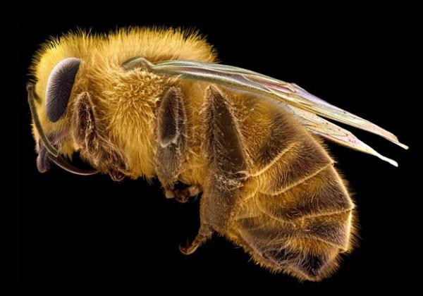 Мікрофотографія медоносної бджоли. Комаха має волохатий тулуб, поділений на сегменти животик, пару подвійних крилець та три пари ніг, кожна з яких призначена для виконання певних функцій у процесі збирання та транспортування пилку.