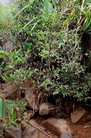 Рінорея Нікколіфера (Rinorea niccolifera), що живиться нікелем із ґрунту. Фото: Dr. Edwino S. Fernando