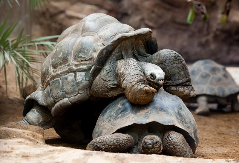 Галапагосские черепахи. Слева — Дирк. Лондонский зоопарк, Великобритания, 25 августа 2011 г. Фото: Oli Scarff/Getty Images