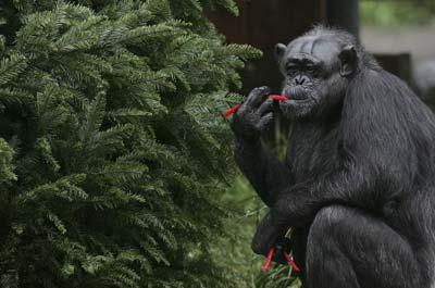 Шимпанзе на ім'я Міні їсть лакрицю, зняту з різдвяного дерева. Фото: Джастін Суліван/Getty Images