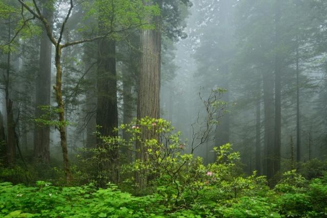 Огромные секвойи и куст цветущего рододендрона. Национальный парк Редвуд, штат Калифорния. Фото: Jim Fox/outdoorphotographer.com