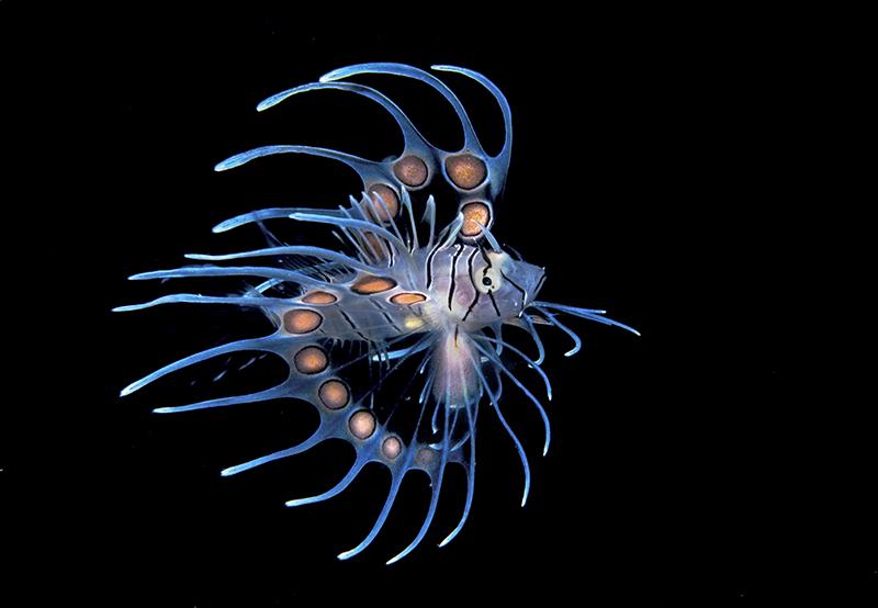 Малёк полосатой крылатки. Категория «Портрет рыб или морских животных». 1-е место. Фото: Steven Kovacs/rsmas.miami.edu