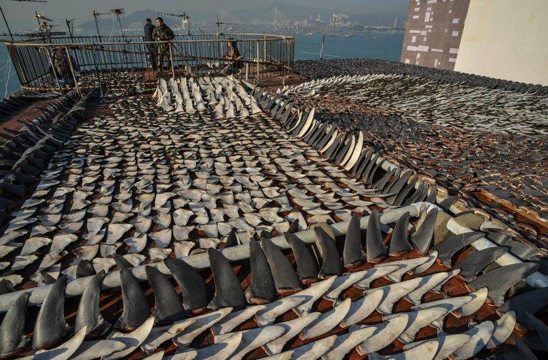 Гонконг, 2 января. Плавники акул сушатся на солнце. По мнению экологов, чрезмерный вылов акул наносит серьёзный ущерб окружающей среде. Фото: ANTONY DICKSON/AFP/Getty Images