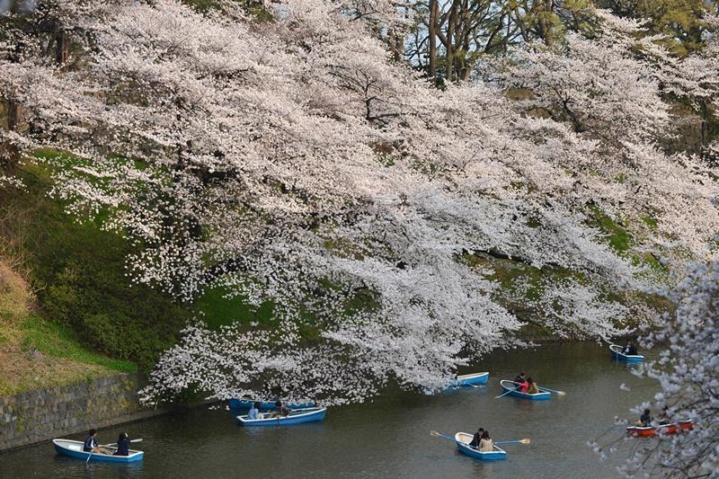 Токіо, Японія, 23 березня. Жителі міста насолоджуються цвітінням сакури. Фото: KAZUHIRO NOGI/AFP/Getty Images