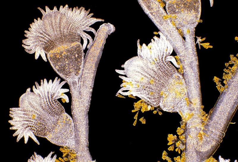 Гидроид рода Обелия и золотистые диатомовые водоросли. Фото: Arlene Wechezak/Anacortes, Washington, USA