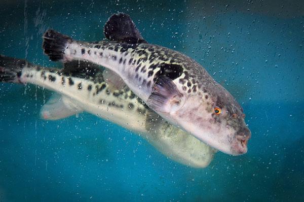 Ядовитая рыба фугу. Фото: life.pravda.com.ua