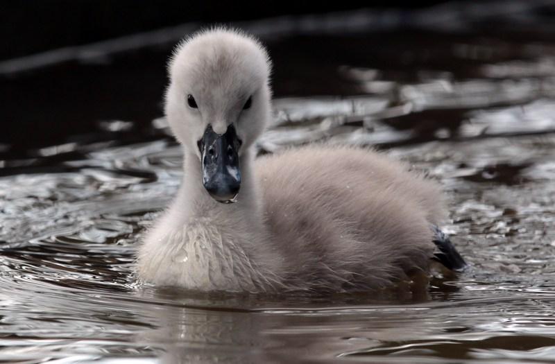 Птенец лебедя-шипуна. Лебединый сад Эбботсбери, графство Дорсет, Англия. Фото: Matt Cardy/Getty Images
