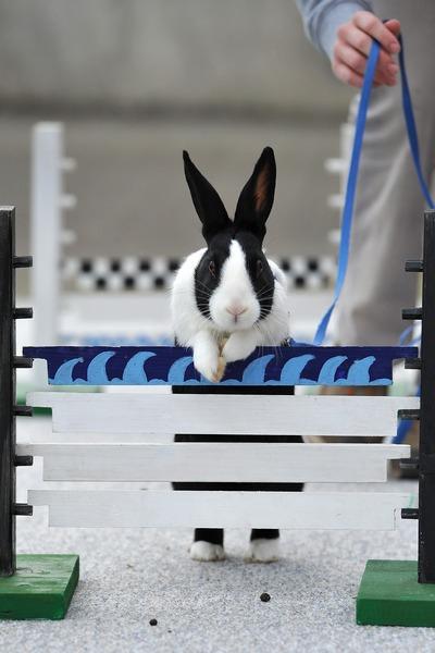 Первый чемпионат Европы по кроличьим прыжкам. Воллерау, Швейцария. Фото: Harold Cunningham/Getty Images