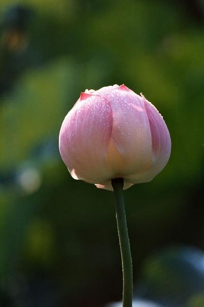 Лотос – символ непорочности и чистоты. Фото с secretchina.com
