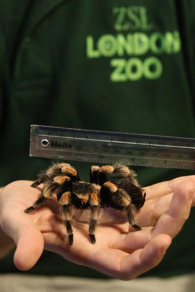 Мексиканский красноколенный паук-птицеед Жаклин на ежегодном взвешивании и измерении животных в Лондонском зоопарке, Великобритания, 25 августа 2011 г. Фото: Oli Scarff/Getty Images