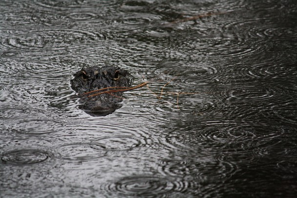 Аллигатор под дождём. Остров Хилтон-Хед, штат Южная Каролина, США. Фото: Kandace Stroupe/travel.nationalgeographic.com