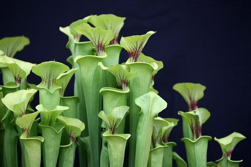 Комахоїдні рослини на стенді хижих рослин від компанії Hewitt-Cooper. Фото: Oli Scarff/Getty Images