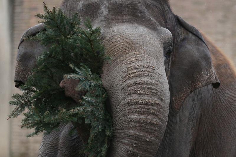 Берлін, Німеччина, 4січня. Нерозпродані новорічні ялинки за традицією дісталися слонам в місцевому зоопарку. Фото: Andreas Rentz/Getty Images