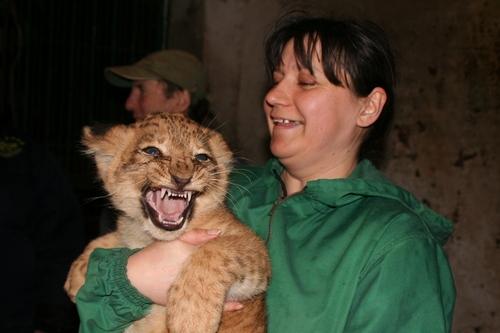 В Одесском зоопарке родились сразу три львенка. Львята и мама чувствуют себя отлично. Фото: МОСТ-Одесса