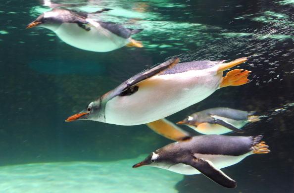 Пингвины - самые закаленные птицы. Фото:WILLIAM WEST/Getty Images