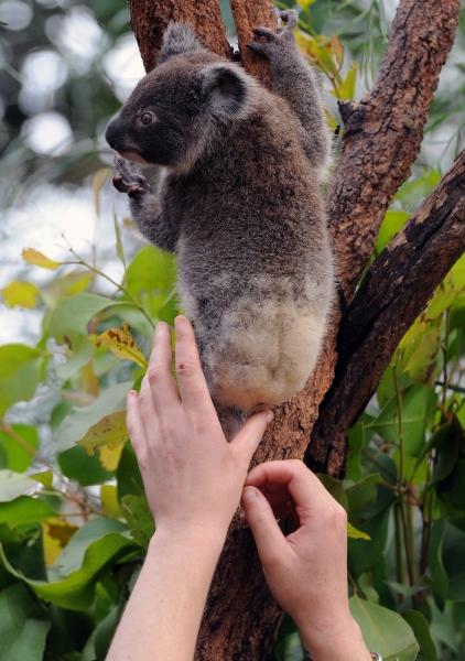 Малыш коалы учится лазить по дереву. Фото: TORSTEN BLACKWOOD/AFP/Getty Images