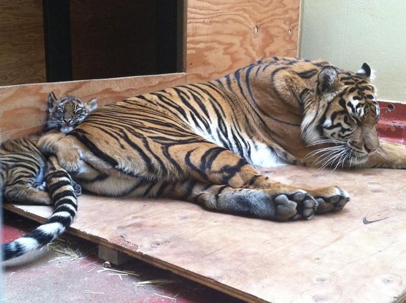 Тигриця Леанна з тигреням у зоопарку Сан-Франциско. Фото: Sandy Huang/sanfranzoo/facebook.com