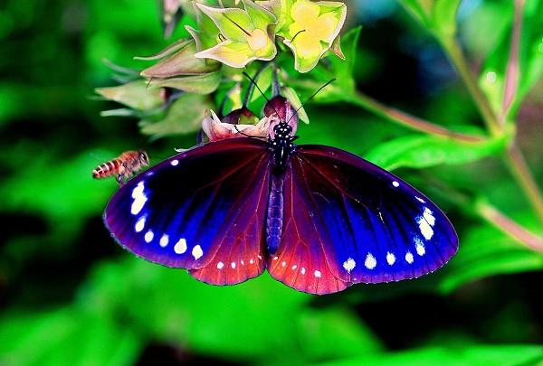 Бабочка Euploea midamus раскрыла крылья чтобы напугать соперника-пчелу. фото с еросhtimes.com.