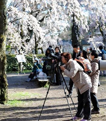 Вишні, квітучі в Імператорському палаці в Кіото. Фото: Akihiro I / Getty Images