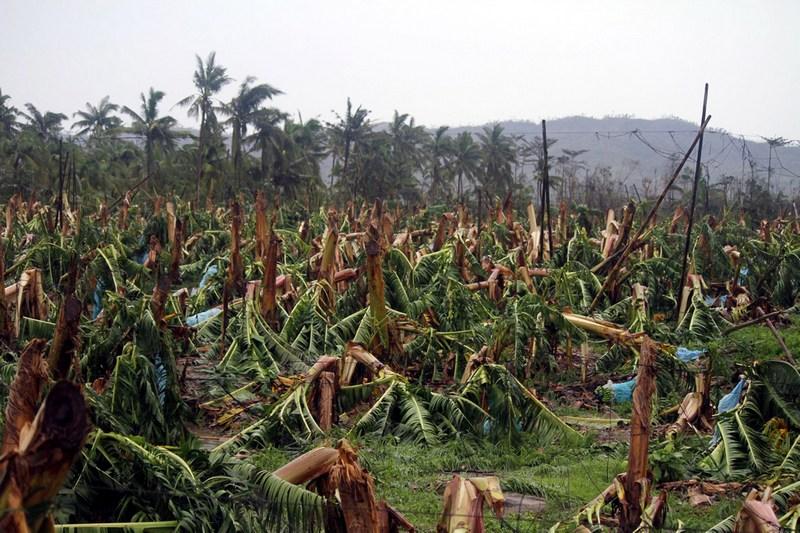 Компостела, остров Минданао, Филиппины, 4 декабря. Плантация банановых деревьев, уничтоженная тайфуном Бофа. Фото: KARLOS MANLUPIG/AFP/Getty Images