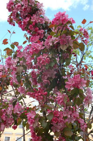 Санкт-Петербург. Китайский садик с цветущими деревьями сливы. Фото: Ирина ОШИРОВА/The Epoch Times