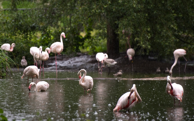 Фламинго на ежегодном взвешивании и измерении животных в Лондонском зоопарке, Великобритания, 25 августа 2011 г. Фото: Oli Scarff/Getty Images