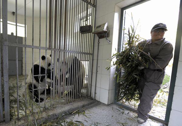 23 травня. Заповідник великих панд Волун. Фото: LIU JIN/AFP/Getty Images