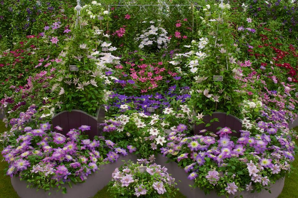 Клематисы с острова Гернси (Нормандские острова) на выставке цветов в Челси. Фото: rhschelsea/facebook.com