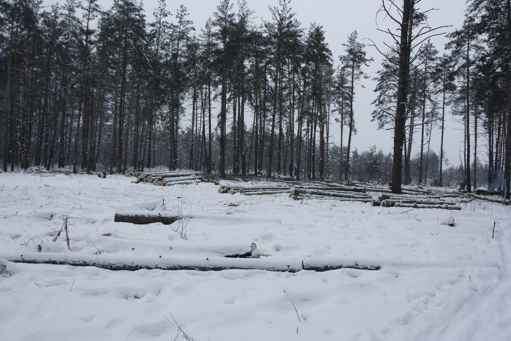 Участок Броварского леса с размерами не менее 50 х 150 метров вырубали с начала февраля. Фото: The Epoch Times Украина